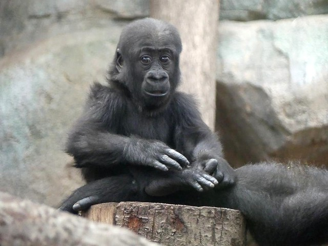Gorilla Wela, Zoo Frankfurt