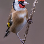 Goldfinch at Millers wood today