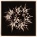 Crassula ovata by Harold Davis