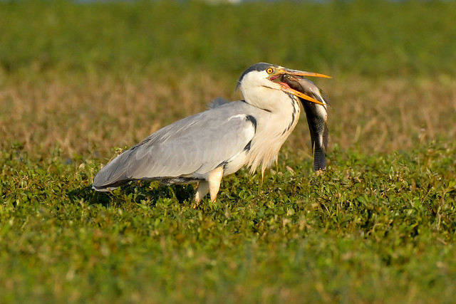 Grey Heron Caught dinner...