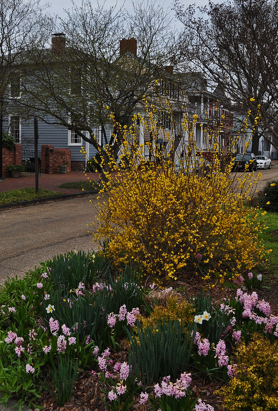 Forsythia and Hyacinth on Washington