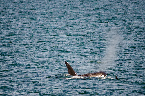 Whale Watching with Island Adventures-102