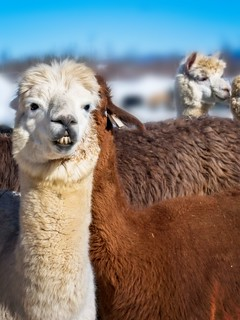 Dew_Drop_Alpaca_20180310_030