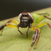 Male Green Jumping Spider by mudge.stephen