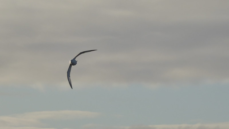 Baffin Sea Bird