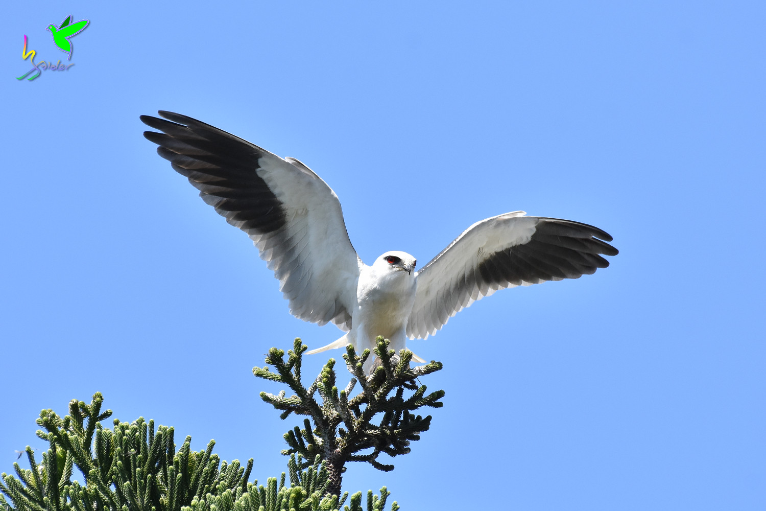 Black-winged_Kite_1869