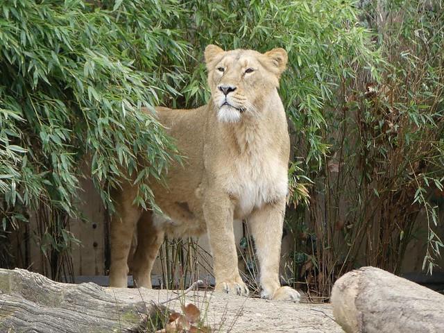 Löwin Zarina, Zoo Frankfurt