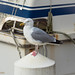perched gull