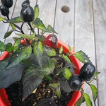 black olive chilli planting in indoor plants by shiny