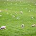 Scottish Sheep Farm
