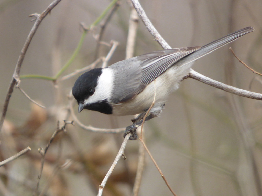 Carolina Chickadee, March 10, 2018, Trail at the Woods, Allen