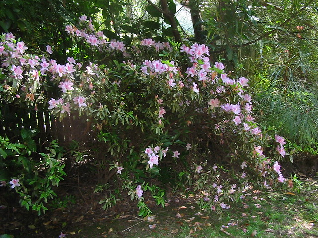 Azaleas in profusion in, Canon POWERSHOT A30