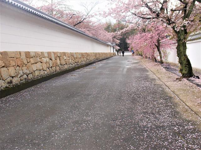 kajuji-sakura007