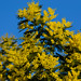 Yellow, blue: mimosa flowering