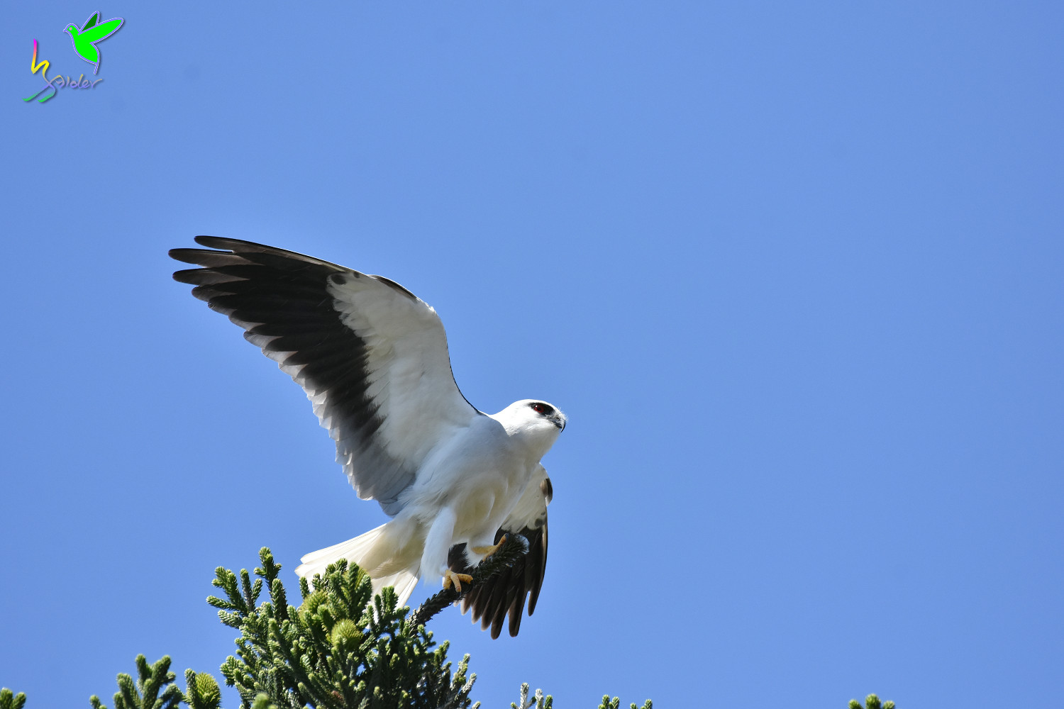 Black-winged_Kite_2346