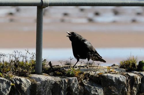 Carrion crow on sea wall, Star Cross