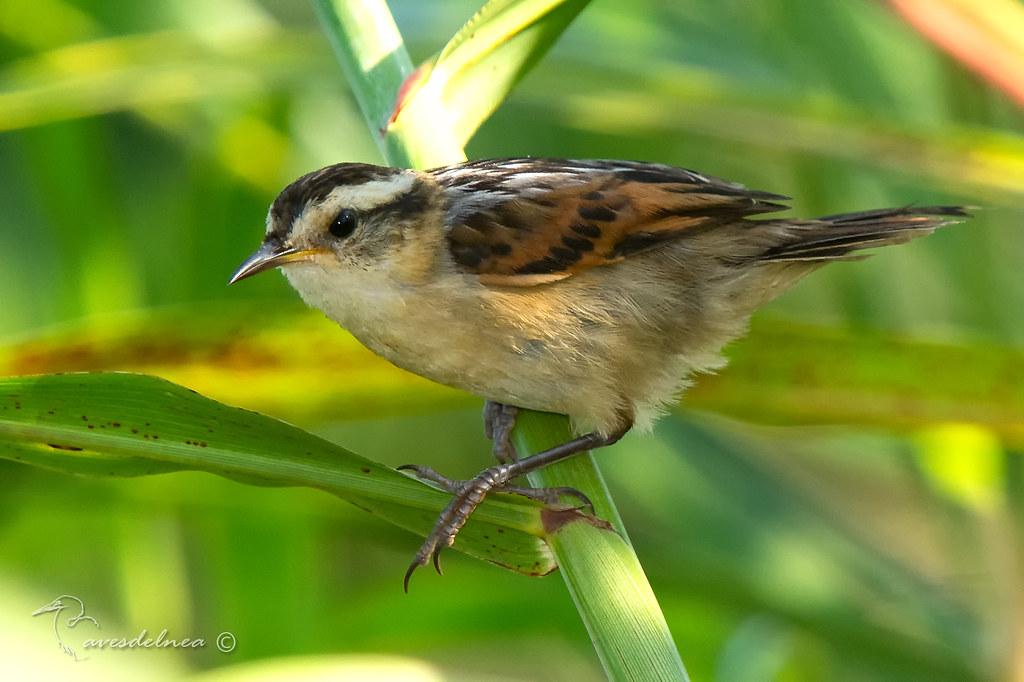 Junquero (Wren-like Rushbird) Phleocryptes melanops