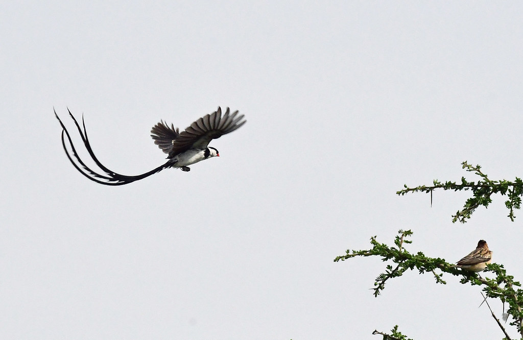 Pin-tailed whydah on display
