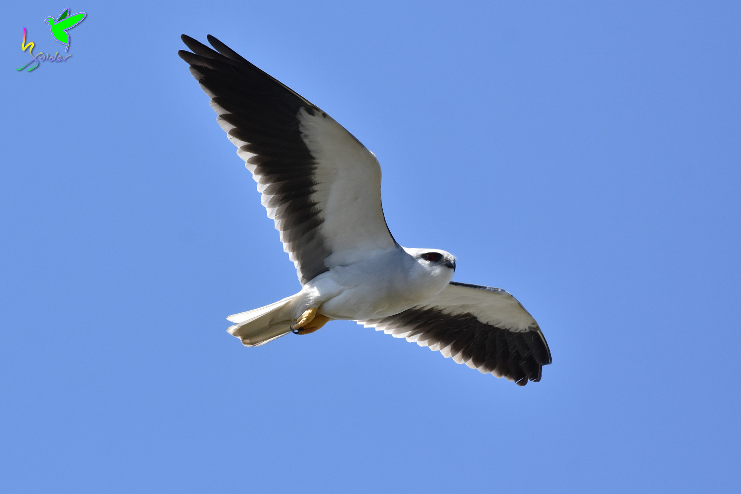 Black-winged_Kite_2310