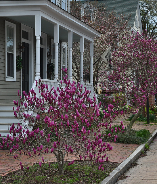 Magnolias on Middle St.
