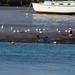 Cormorants mid-river, low tide