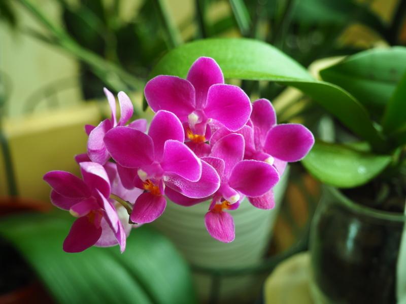 Les Orchidées chez Cloo en 2018 - Page 5 40688625322_17fe693288_o