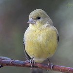 Lesser Goldfinch ♀