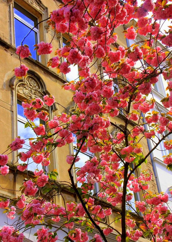 Cherry flowers cover Bonn during spring