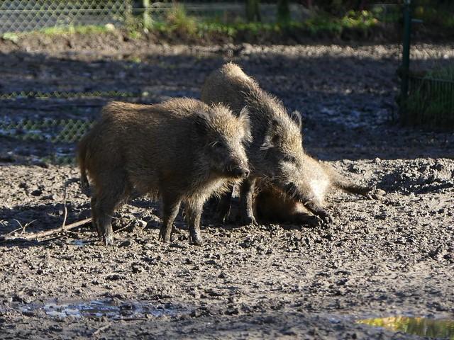 Wildschwein, Dierenrijk Mierlo