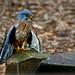 Turmfalke, Falco tinnunculus by Mejxu