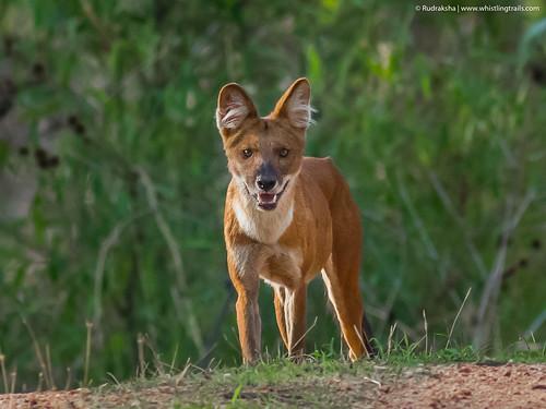 Wild Dog (Dhole)