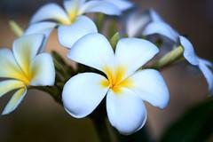 Flowers in KSA
