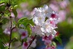 梅花和櫻花 2018