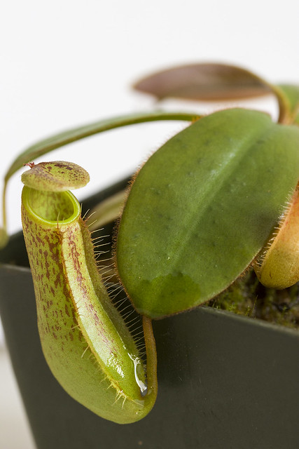 Nepenthes adnata sg