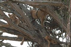 Tree-climbing lion-Queen3