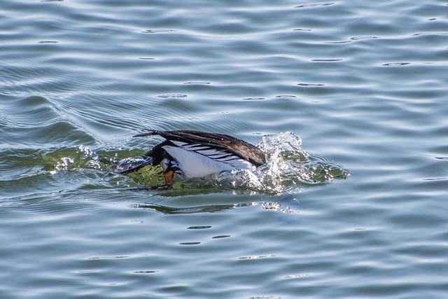 Common Goldeneye diving