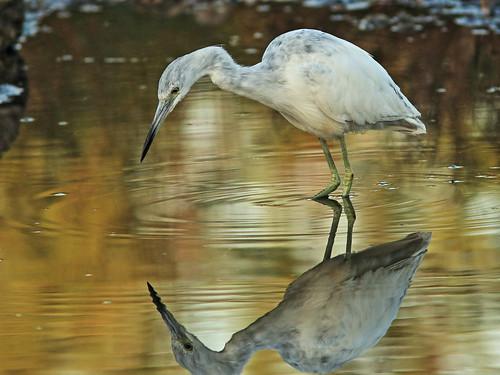 Little Blue Heron immature 06-20180306