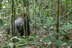 Lowland gorilla, Dzanga Sangha Special Reserve, CAR