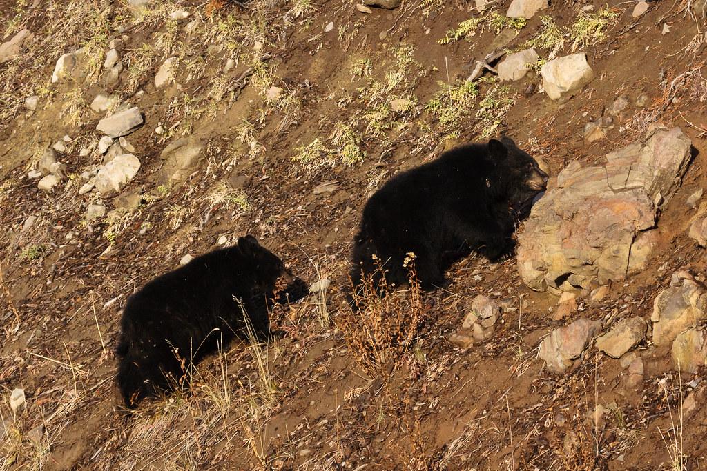 Two black bear cubs walk single-file up a hillside
