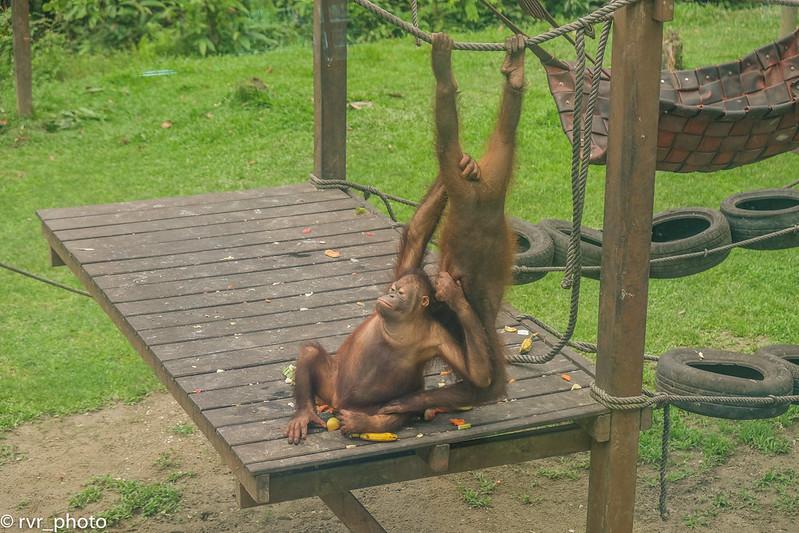 Sepilok Orangutan Rehabilitation Centre, Borneo, Malasia