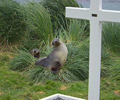 Fur seals in the grass