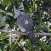 Another Spotted Dove