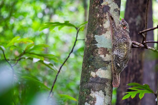 The Sunda flying lemur (Galeopterus variegatus) or Sunda Colugo, also known as the Malayan flying lemur or Malayan colugo. Permai Rainforest Resort