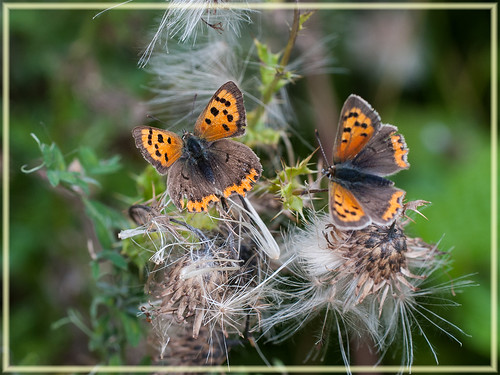 Small Coppers (Lycaena phlaeas)