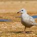 Gaivota-polar | Iceland Gull | Gaviota groenlandesa | Goéland arctique (Larus glaucoides)