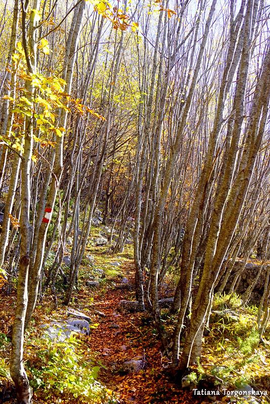 Тропинка по молодому буковому лесу