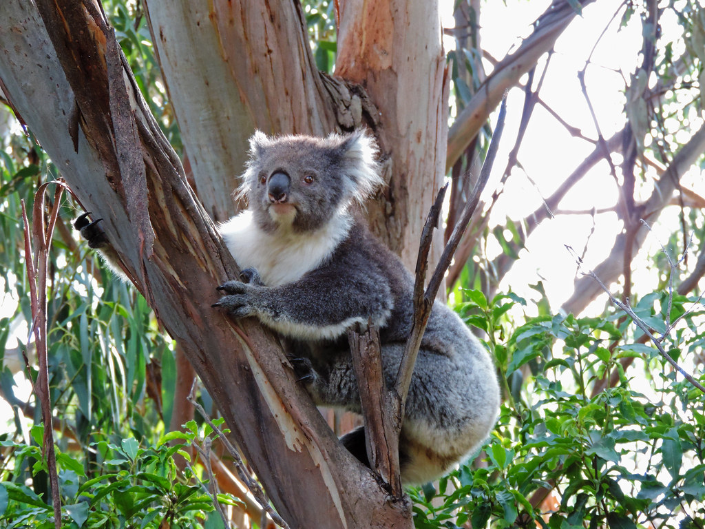 Kennett River Koala Walk, Great Otway National Park, Australia