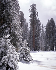 Big Tree Meadow