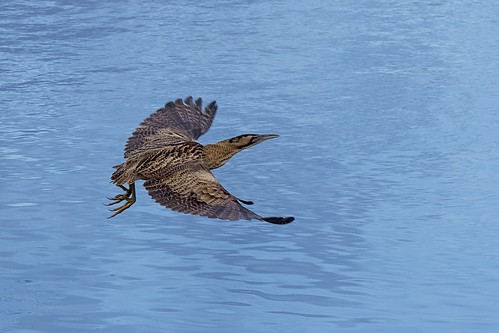 BIttern201218(1) | by only1malcolmfisher
