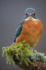 Kingfisher (f)